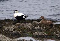 eiders in the shallows between the house and Carraig Fhada lighthouse.